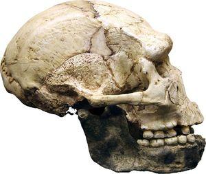 Crâne de l'homme de Tautavel